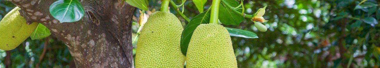 jackfruit recetas y venta online en shop.aceitedeoliva.com