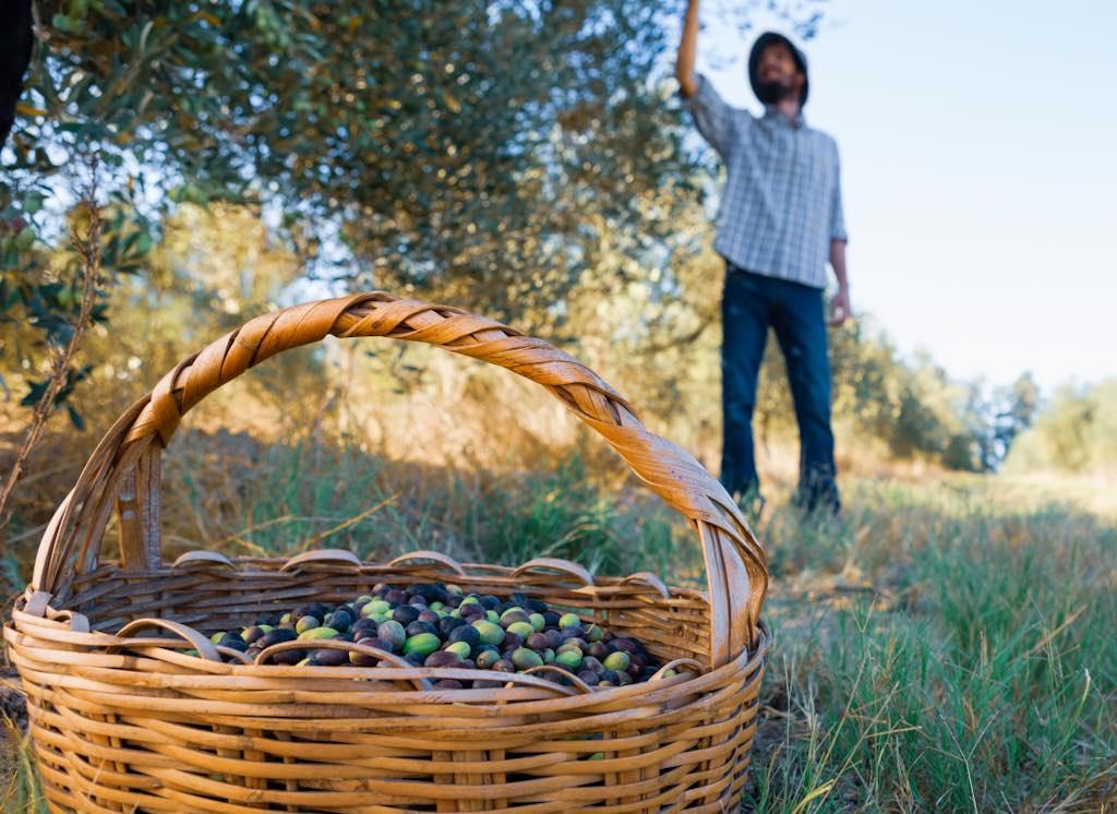 obtención del aceite de oliva
